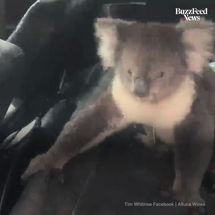 RT @BuzzFeedNews: This koala snuck into an air-conditioned car and wouldn't get out ???????? https://t.co/3APsKaUNqN