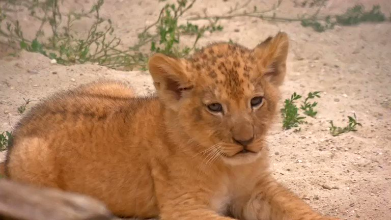 ICYMI: Two rare Barbary lion cubs make their public debut at a Czech zoo https://t.co/04BCM4XPNC