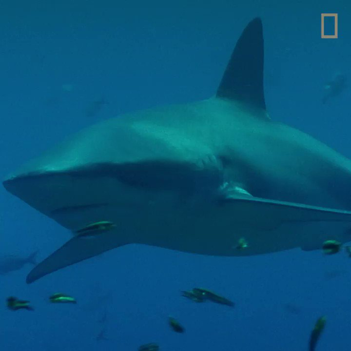 When it comes to a shark's senses, there are a lot of misconceptions out there. Join us as we dive into shark myths vs truths. #Sharkfest continues tonight on National Geographic! https://t.co/hFmWKhBmT9
