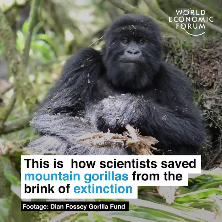 Return of the king.  🔎 Learn more about how conservation is saving Africa's gorillas: