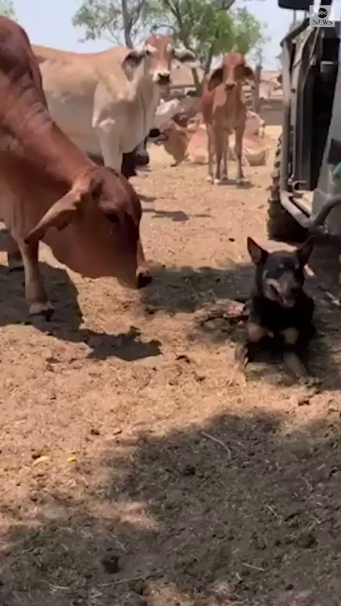 'UDDER' INFATUATION: A particularly affectionate cow can't stay away from a dog working at the cattle station it calls home, nuzzling and licking the pooch over and over.