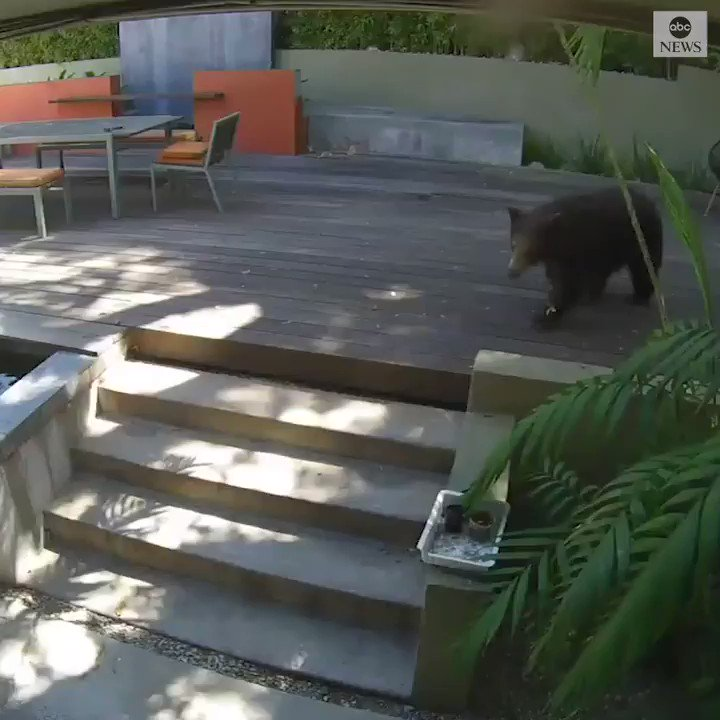 BACKYARD BEAR: A bear in Southern California cooled down and relaxed in a family's backyard. The bear and two cubs live in the neighborhood and make occasional visits.