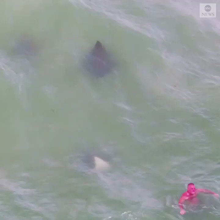 KEEP SWIMMING: Huge stingrays are seen swimming past Florida beachgoers who appear completely unaware of their passing.