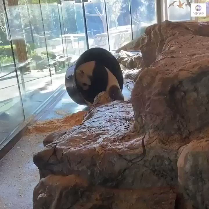 ROLL WITH IT: Giant panda Wang Wang turns his sawdust bath into an oversized hamster wheel for his own amusement at Adelaide Zoo.