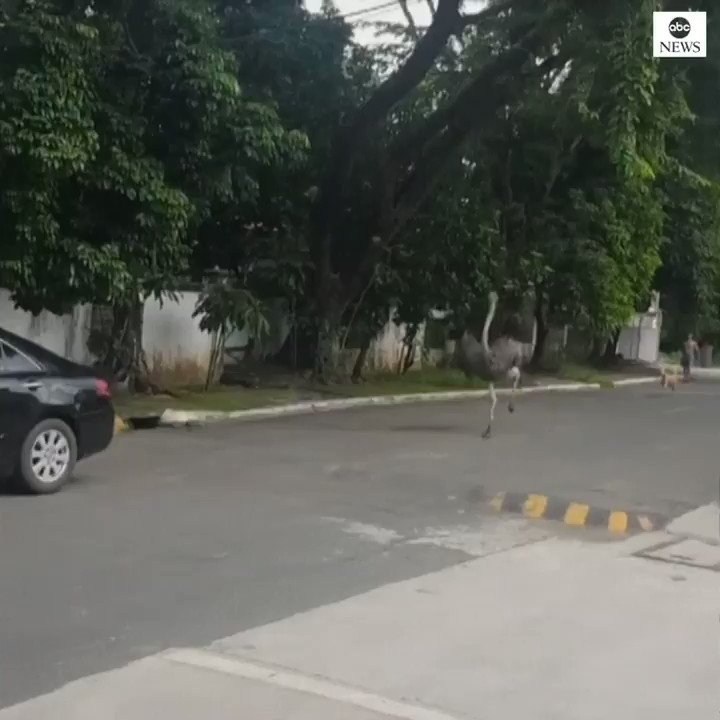 ON THE LOOSE: Runaway ostrich sprints down the road after traffic in the Philippines.