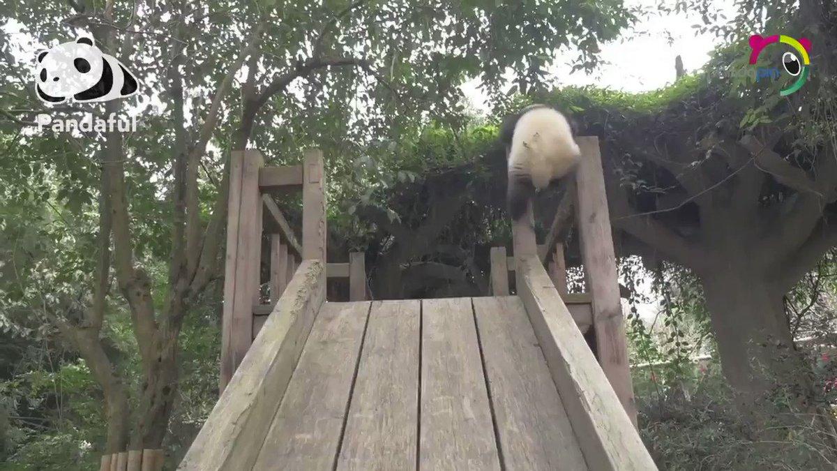 🐼❤️ Adorables imágenes de este cachorro de #panda practicando sus dotes de #KungFu en #Sichuan.