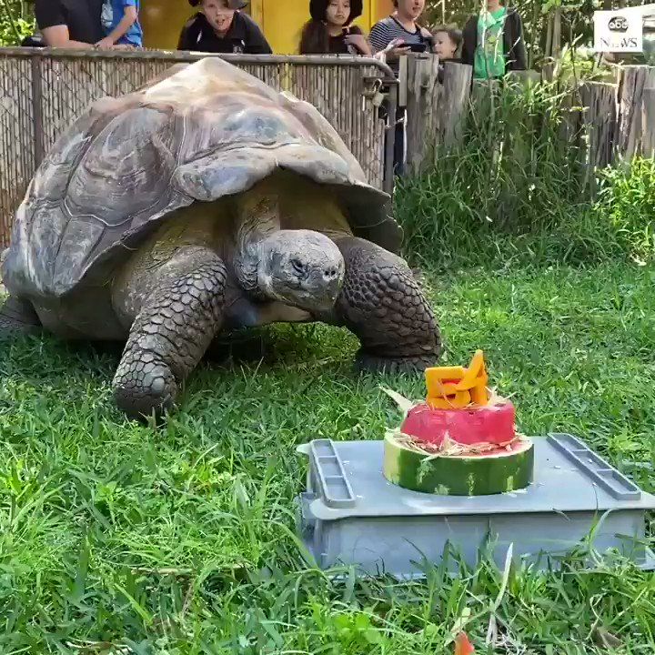 YOUNG AT HEART: Galapagos tortoise Cerro celebrated turning 54 years old by devouring a special birthday cake filled with some of his favorite treats at Perth Zoo.