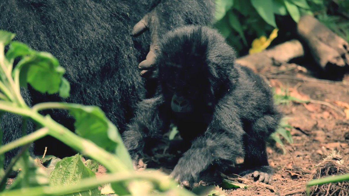 Celebrate #InternationalPrimateDay with this rare footage of the critically endangered mountain gorilla. https://t.co/1xn3Xx05XQ