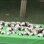 PANDA-MONIUM!! (it never gets old, does it?) 23 little panda cubs go on show in China. Go on, click.. #TenNews https://t.co/NwBRJ1Abhz