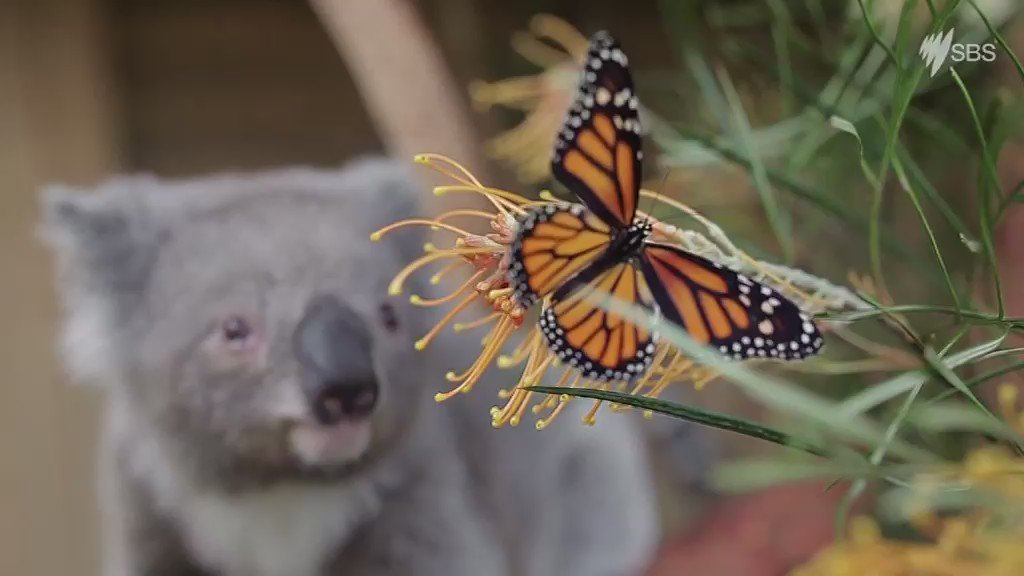 When a koala joey makes friends with a butterfly. We can all thank @symbiozoo for the smiles. https://t.co/usw6ChiV12