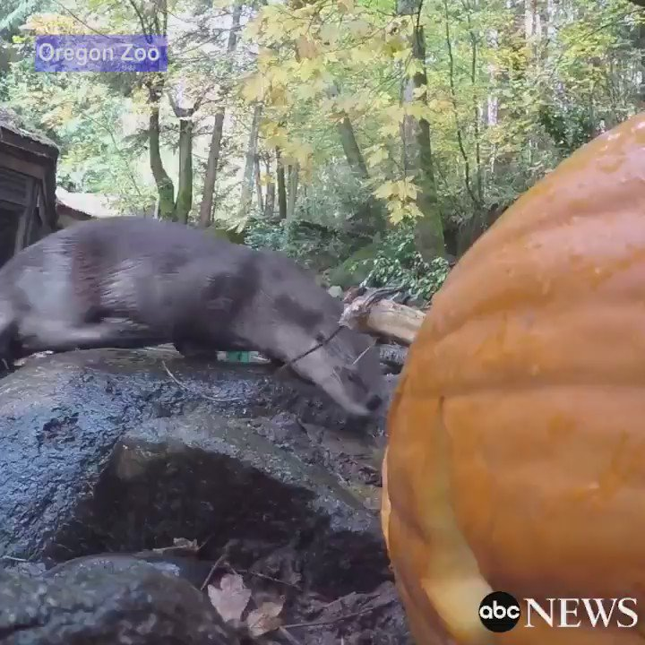 Bears, giraffes and otters are given pumpkins to celebrate Halloween at the Oregon Zoo.