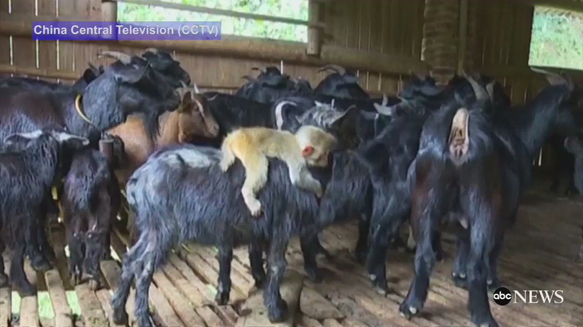 Lost baby monkey becomes best friends with a goat - and just won't let go. https://t.co/xVnhqmikJO