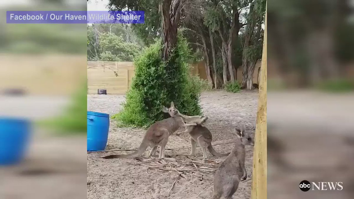 WATCH: Orphaned kangaroo joeys play fight over food: https://t.co/aDNEglnrHj https://t.co/Ng1x3tFypx