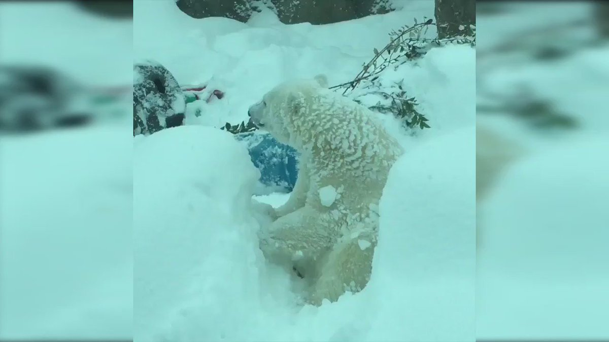 WATCH: Snow day at the @OregonZoo! https://t.co/cMVofBkzCM https://t.co/rYbUpNcEJl
