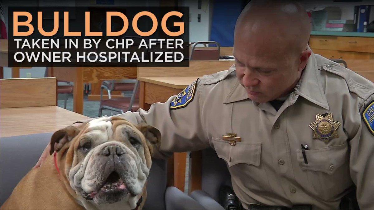 Bulldog taken in at CHP station after owner hurt in crash