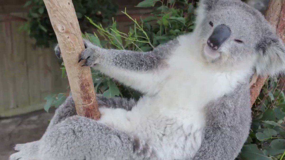 Sleeping is the best way for koalas to conserve energy—a good excuse for the next time you need a nap