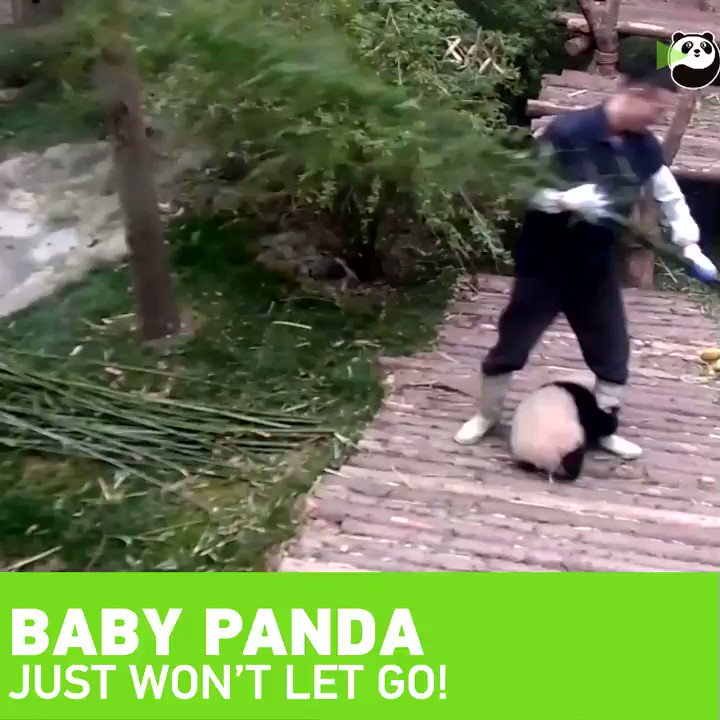 #MeanwhileinChina this baby #panda just won't let go of his keeper!