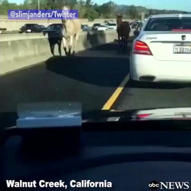 Four-legged fugitives surprise Monday morning commuters on Northern California freeway.