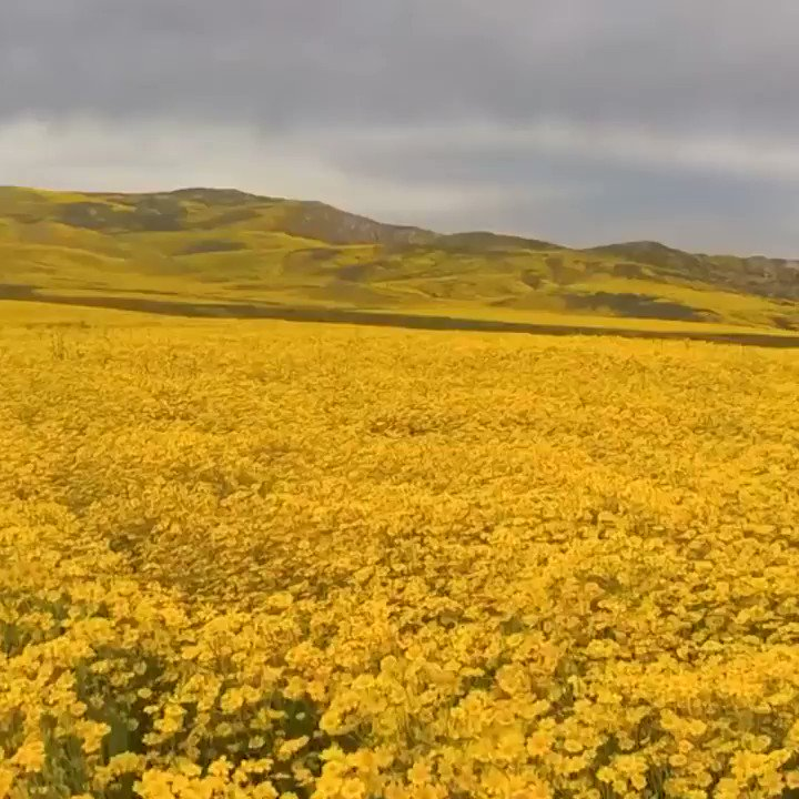 A drone captured the seemingly endless vast of yellow wildflowers blooming in California