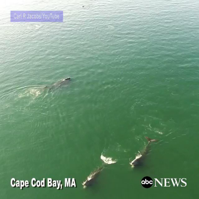 North Atlantic right whales spotted feeding off Cape Cod Bay, Massachusetts https://t.co/yBF6VAgA92
