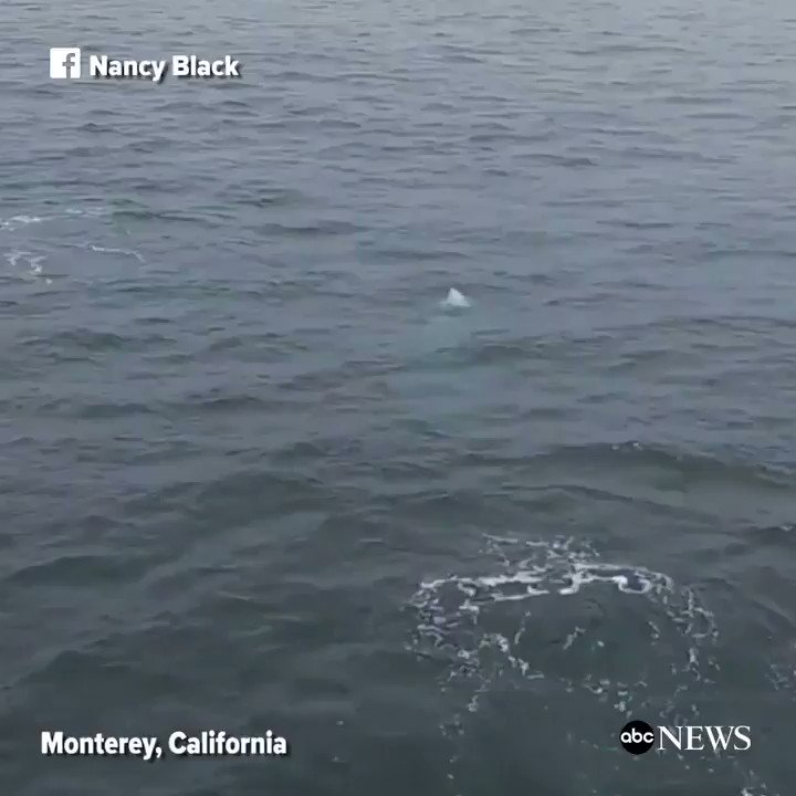 WATCH: Playful killer whales breach the surface of the water in Monterey, California: https://t.co/jfgajjTW5m https://t.co/CQpQJjIvV9