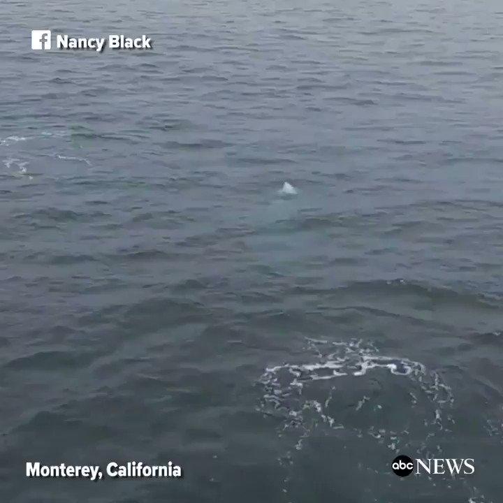 WATCH: Playful killer whales breach the surface of the water in Monterey, California: https://t.co/jfgajjTW5m https://t.co/CQpQJjIvV9