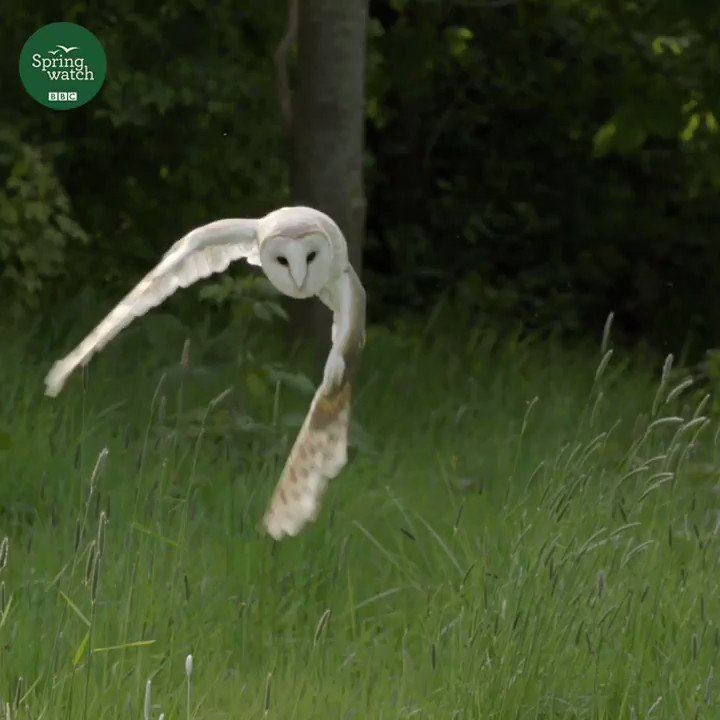 RT @BBCSpringwatch: Is there anything more majestic than a barn owl? Nope. ???? #Springwatch https://t.co/dTfqgs54fP