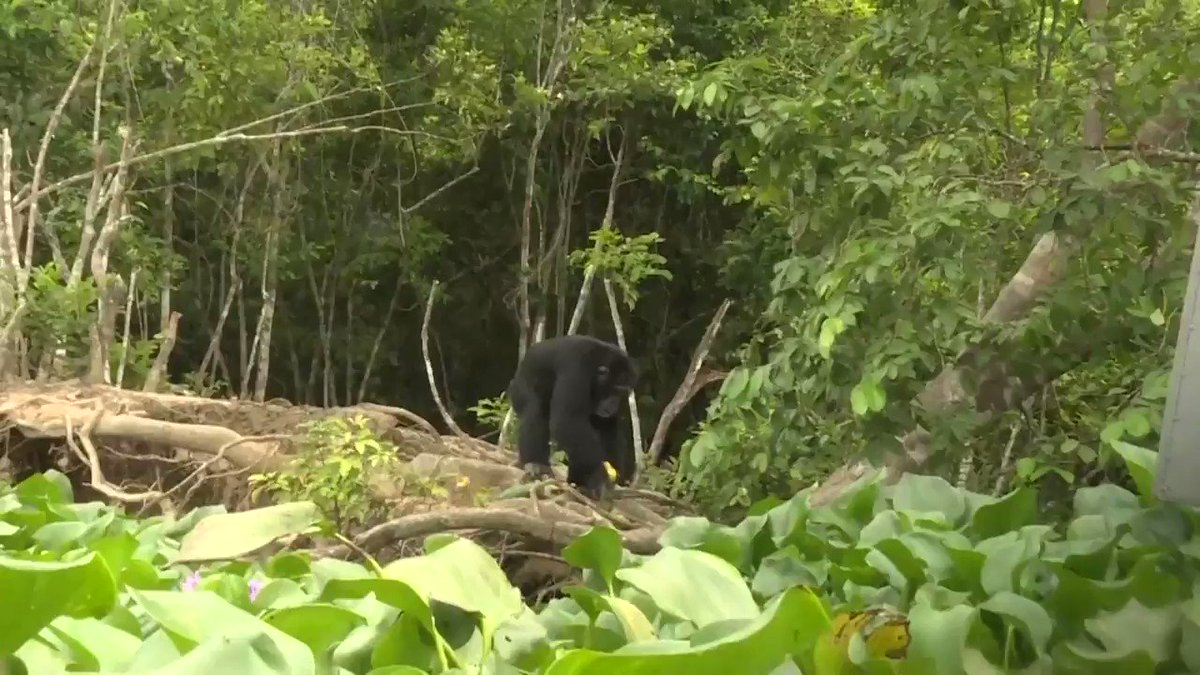 Twenty apes used to live on this island, but Ponso is now the last remaining survivor of his colony https://t.co/S1L9yuJb7u