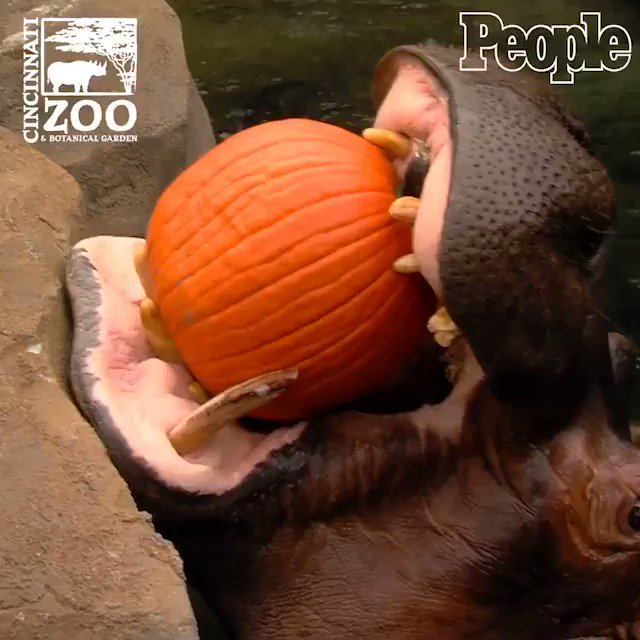 You have to see Fiona the baby hippo chow down on a pumpkin to celebrate Halloween ?