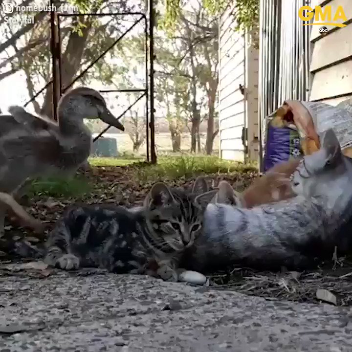 "Duckling abandoned by her family is ""adopted"" by litter of kittens — and now they're one big, happy family! https://t.co/IoawkY75w2"