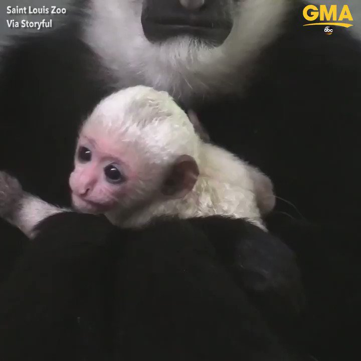 Smiles all around as the Saint Louis Zoo​ (@stlzoo) welcomes a baby colobus monkey to its family! https://t.co/a4WAWhb2tY