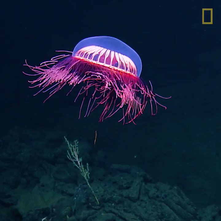 RT @NatGeo: Found in the far depths of the Eastern Pacific ocean, this rarely-seen jellyfish was first recorded in 1909 https://t.co/wxrLK4…