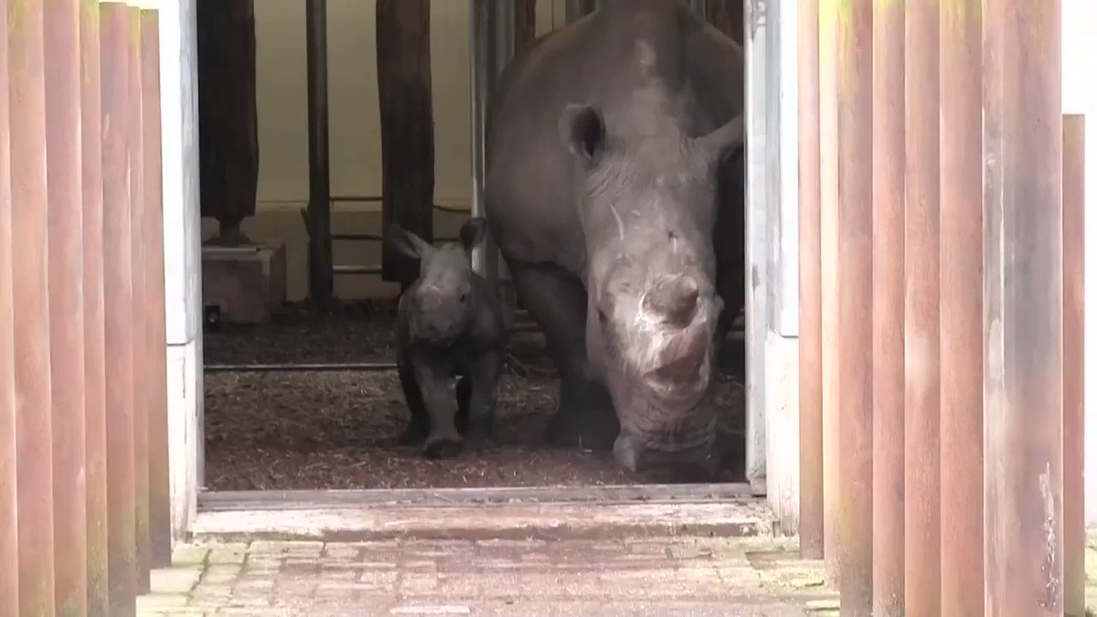 Week-old baby rhino takes her first steps outside in Dutch zoo. For more videos: https://t.co/qWYqX0QrLC https://t.co/RGiknj0aDt