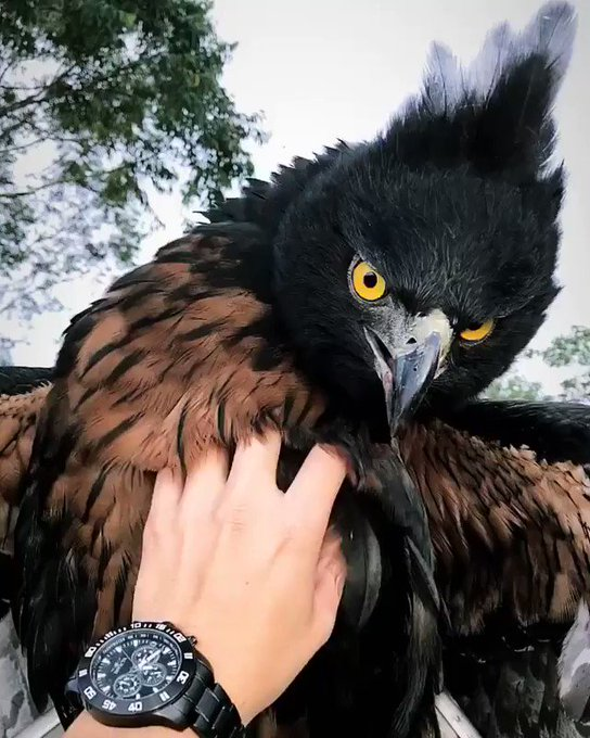 @holycutenesss: RT @AMAZlNGNATURE: Black and Chestnut Eagle ?   https://t.co/prYBnzM1D2