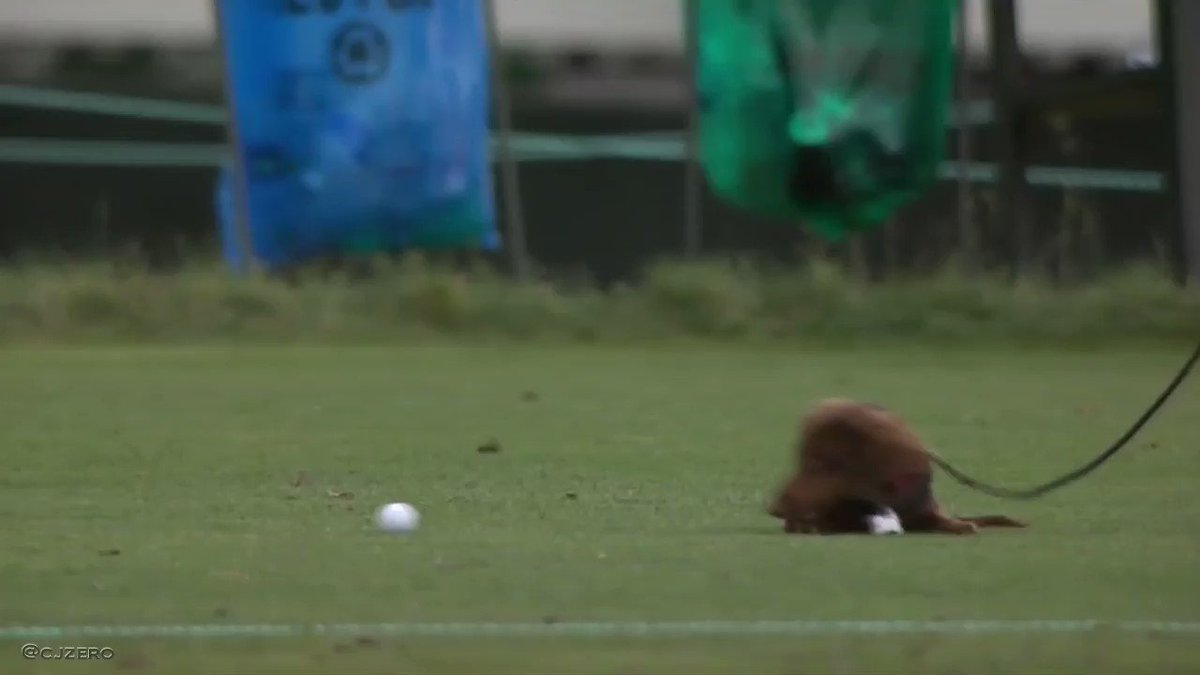 Gonna bless your timeline with a weiner dog chasing a golf ball https://t.co/0VlkELcDx2