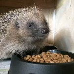 RT @Prickles_Paws: Horace has an important message for us #BonfireNight #wildlife #hedgehogs #charity https://t.co/7LGiv3M2tE