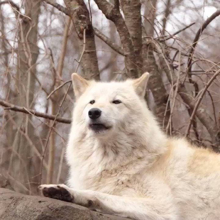 RT @nywolforg: His howl gives soul to the universe. #standforwolves https://t.co/SRIqG43rli