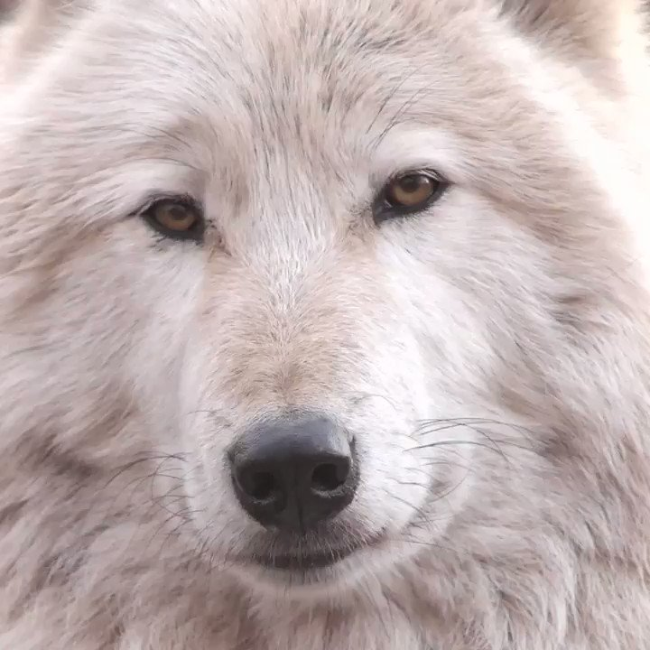 RT @nywolforg: To look into the eyes of a wolf is to see your own soul - hope you like what you see. ~Aldo Leopold https://t.co/jPydOKvJg4