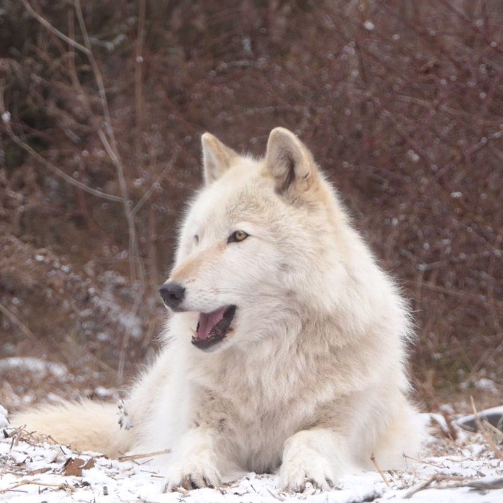 RT @nywolforg: His howl gives you chills. The good kind. #sandforwolves  https://t.co/wgX151WK1L https://t.co/4kERlX2MkY