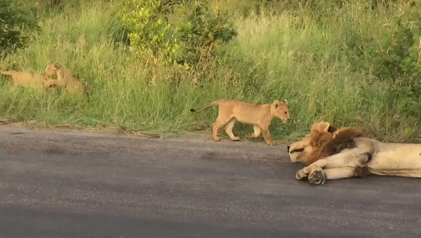 06:30 Lions with cubs H3, 2.5km N of Afsaal Near Malelane 5/5 Tinged by...