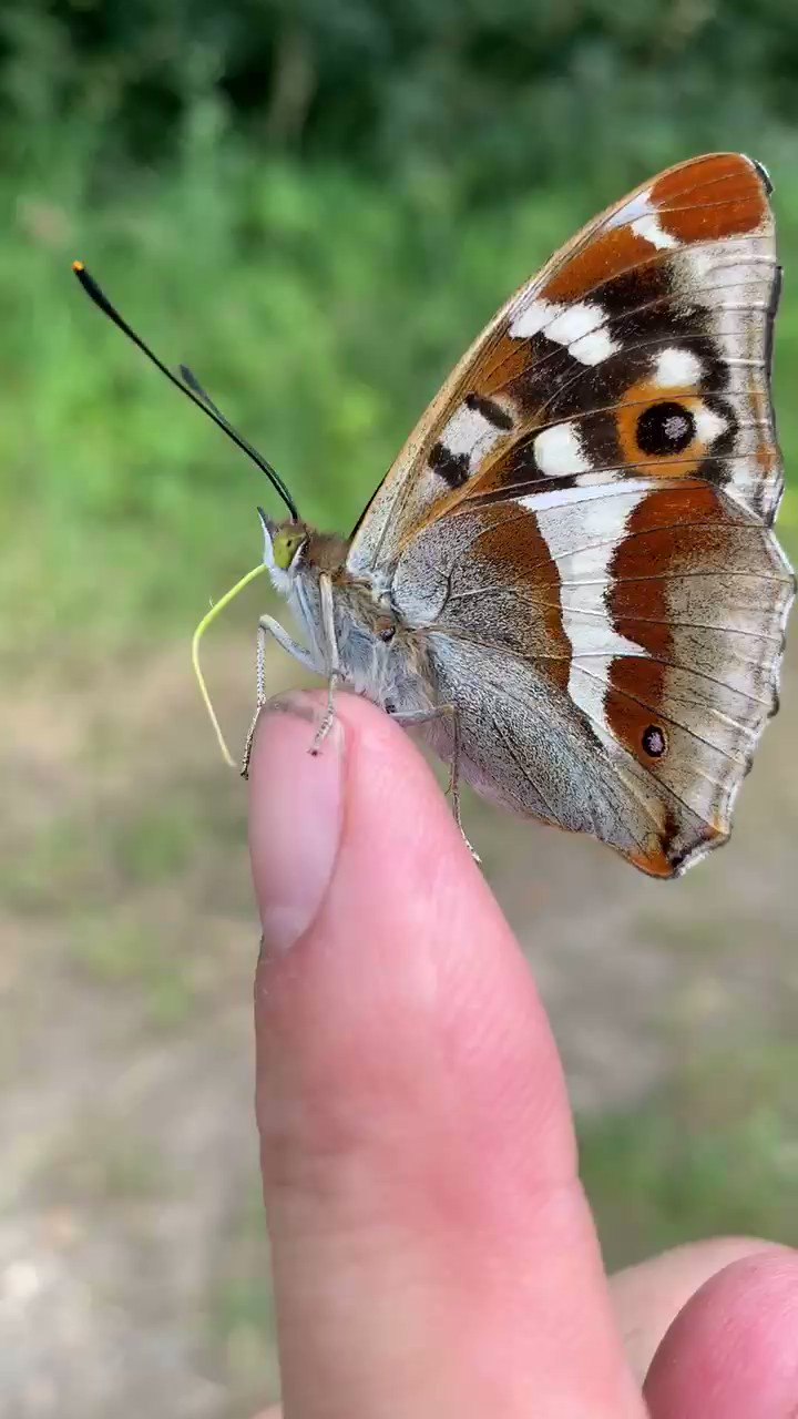 Purple Emperor getting some sustenance from my finger https://t.co/uk9fHD28Cv