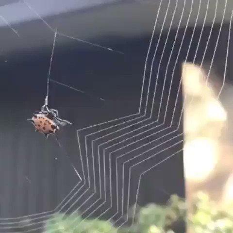 Örümcek ağını nasıl örer? https://t.co/9LYx3bHJs1