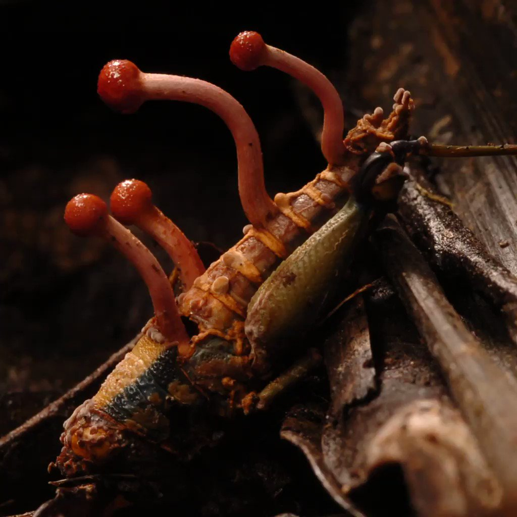 This grasshopper has fallen victim to the zombie apocalypse (for insects).   #FungusFriday 🍄 https://t.co/NBGIlFPUHu