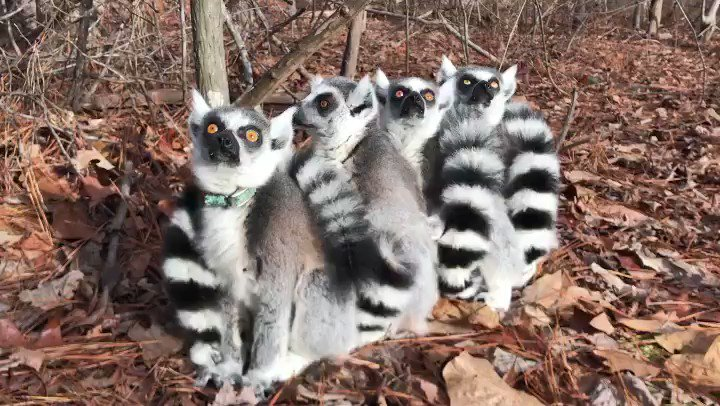 ALL ABOARD!!! First #LemurBall of 2020 @dukelemurcenter. To keep warm and to reaffirm social bonds, groups will huddle together to form a 'lemur ball' With weather getting chilly, today might be the last day of free-ranging for these Cattas. #dukelemurcenter @AthansABC11