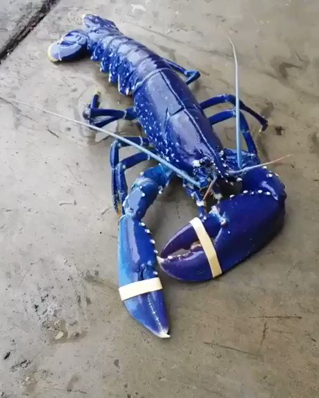One in a 200 million blue lobster!