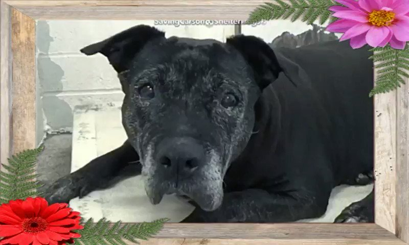 🆘  Code RED⚠️  🆘 CARSON SHELTER DOGS #CALIFORNIA  💥#URGENT 🆘 NEEDS OUT #ASAP   #ADOPT #FOSTER #RESCUE #PLEDGE  #A5369633  ✰ BEAUTY is💥#BLIND, 10yrs old  & being overlooked! This gorgeous girl should be in a home where she can be given the comfort & luv she deserves!  More⬇️
