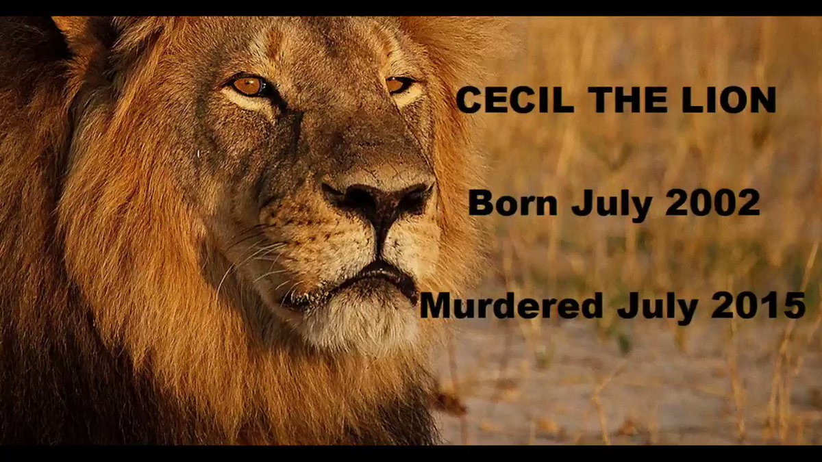 """""""Would you shoot this beautiful creature for no reason other than it gave you a sick thrill?"""" ~ @RickyGervais.  Cecil THE Lion ~ we will NEVER forget how you horrifically and illegally your life was taken.  #BanTrophyHunting for #CecilTheLion and ALL the other MURDERED animals!"""