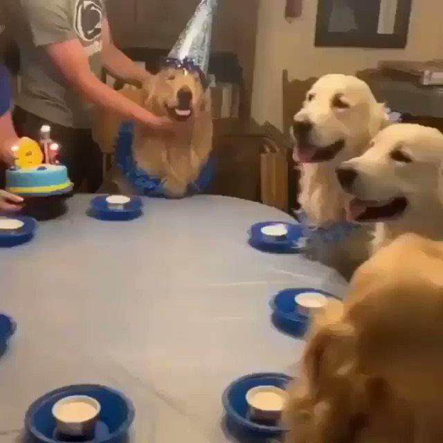 Doggo Birthday Party 🥳🥳🥳 Like and retweet for more #goldenlove daily  Caption IG @goldenretrieversus 📸 #goldenretriever #cutedog #puppy #puppylove