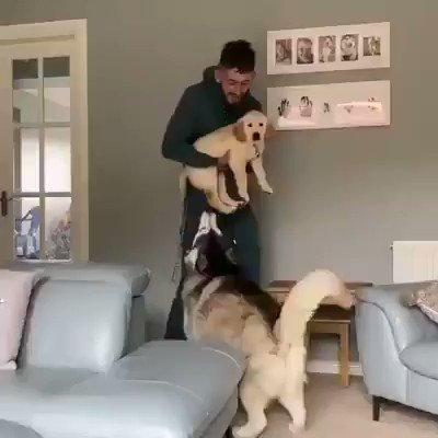 olha à reação deste cachorro siberiano quando ele conhece o novo filhote da família ❤️😍