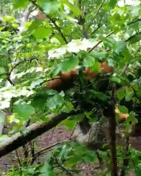A tip from Oolong the Red panda: When climbing down trees, it's always important to go head first. 📸 Keeper Katie